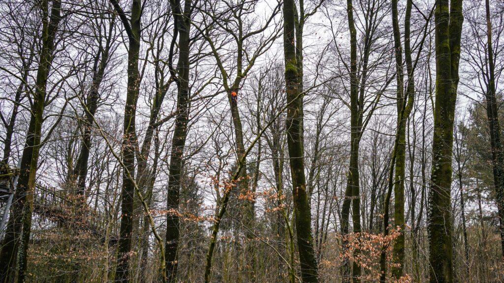 Alteiche mit Neigung zum Baumwipfelpfad