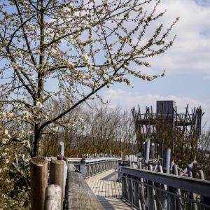 Vogelkirsche am Baumwipfelpfad